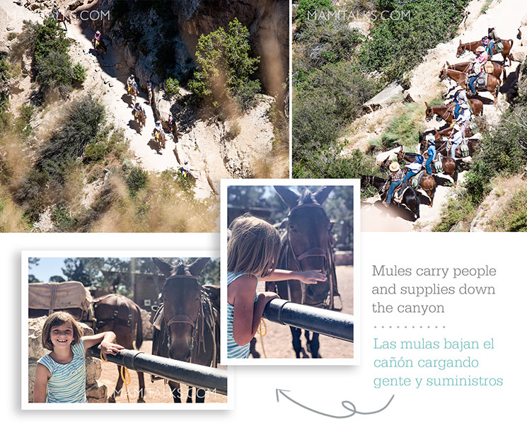 Mules at the Grand Canyon going uphill, girl petting mule. -MamiTalks.com